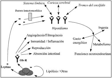 Principales acciones centrales y perifericas, mecanismos del apetito
