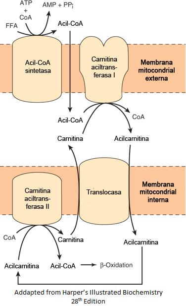esquema l-carnitina