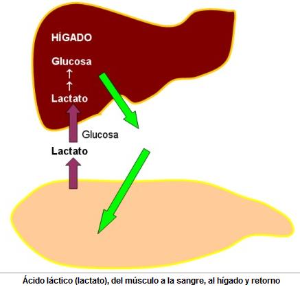 Ácido láctico en el ejercicio físico del musculo a la sangre, al higado y retorno