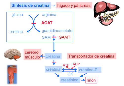 processo de creatina