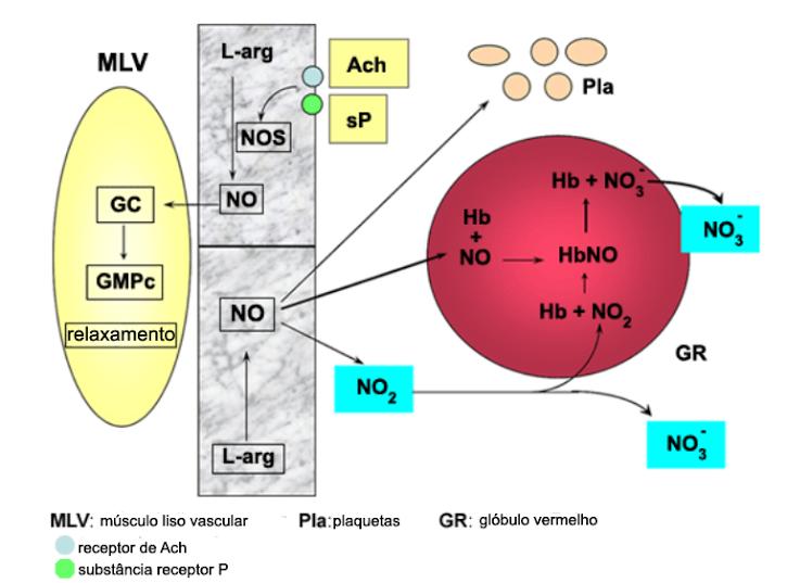 vaso dilatacion óxido nitrico en portugués