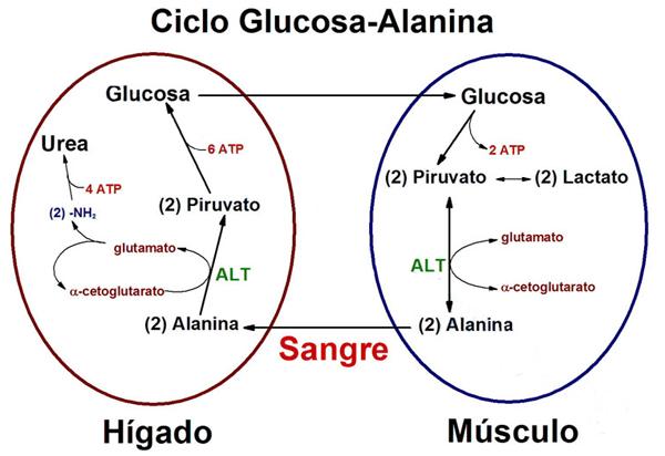 Aminoacido fitness 3 | Alanina 2