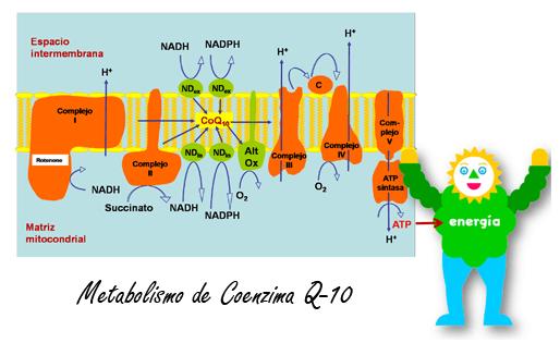 Rendimiento fitness: Metabolismo CoQ10