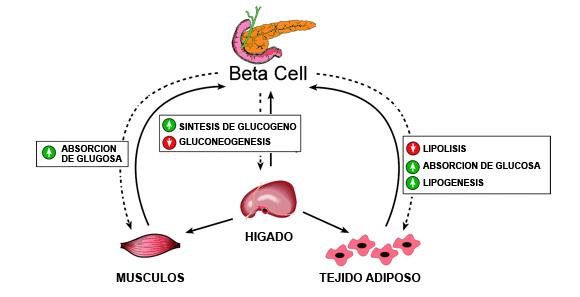 Los mitos de los carbohidratos y la insulina